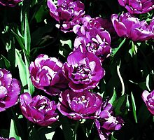 Purple Tulips by Kris  Kennedy