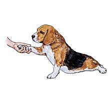 Human hand holding beagle's leg Photographic Print