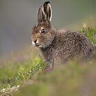 Mountain Hare in Heather by Karen Miller