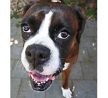 Hi There!  -Boxer Dogs Series- Photographic Print