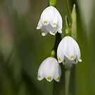 snowdrops by Glenda Williams