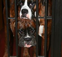 Behind Bars -Boxer Dogs Series- by Evita