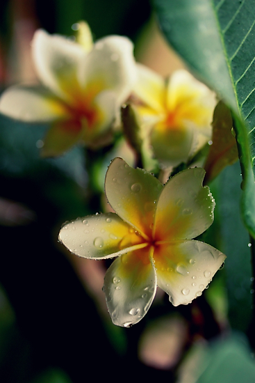 Frangipani Out In The Rain by Evita