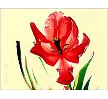 December's Red Tulip Photographic Print