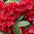 Rhododendron 'Bibiani' in Full Bloom by hortiphoto