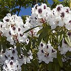 Rhododendron 'Sappho' in Full Bloom by hortiphoto