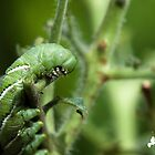 Tomato Hornworm by TJ Baccari Photography