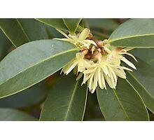 Star Aise (Illicium verum) Photographic Print
