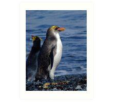 Royal Penguin - Macquarie Island Art Print