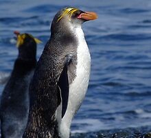 Royal Penguin - Macquarie Island by Karen Stackpole