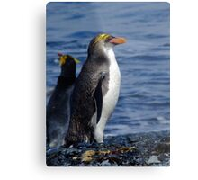 Royal Penguin - Macquarie Island Metal Print