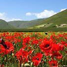 Poppies by annalisa bianchetti