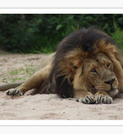 Lying lion Sticker