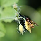 Hoverfly on Greater celandine by cuprum