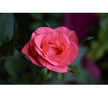 Small Rose Photographic Print