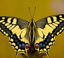 Old World Swallowtail by Dave Tickell