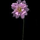 Pink Dahlia on Black by LouiseK