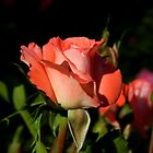 Pink Rose by astrolline