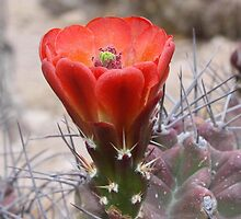 Orange-Red Claret Cup Hedgehog Cactus Flower by Robert Armendariz