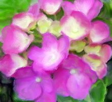 Magenta macrophylla blooms by imagerially