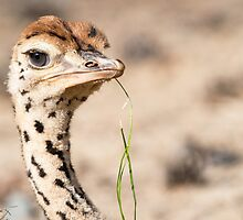 Ostrich (juvenile) by Thomas F. Gehrke