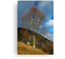 Beech tree on mountain Canvas Print