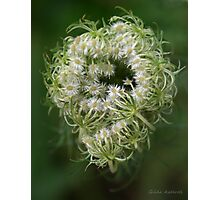 Queen Anne's Lace Bud Photographic Print
