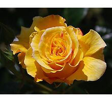 Just open yellow rose bud Photographic Print