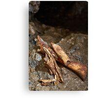 Cave bear fossils closeup Canvas Print