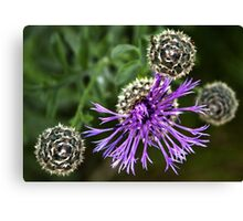 Looking Down on Thistle Flower Canvas Print