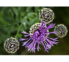Looking Down on Thistle Flower Photographic Print
