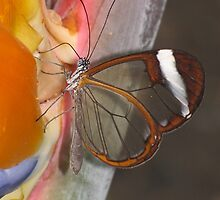 Glasswing 02 by Sharon Perrett