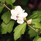 White Rose of Sharon by Linda  Makiej Photography