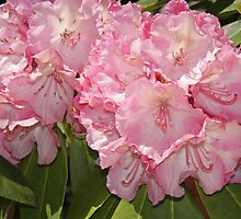 Rhododendron 'Viennese Waltz' Flowerheads by hortiphoto