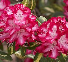Rhododendron 'President Roosevelt' Flowerheads by hortiphoto