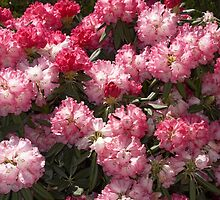 Rhododendron 'Noyo Brave' in Full Flower by hortiphoto