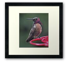 MULTICOLORED MALE ANNA'S HUMMINGBIRD Framed Print