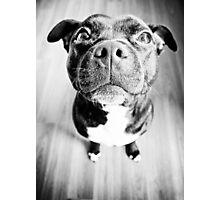 Staffy! Photographic Print