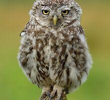 Little Owl (Athene noctua) - IV by Peter Wiggerman