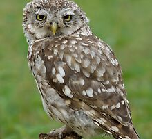 Little Owl (Athene noctua) - V by Peter Wiggerman
