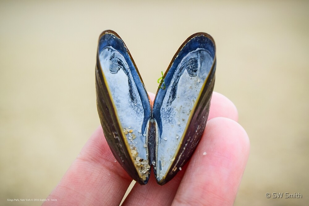 Mytilus Edulis - Blue Mussel | Kings Park, New York by © Sophie W. Smith