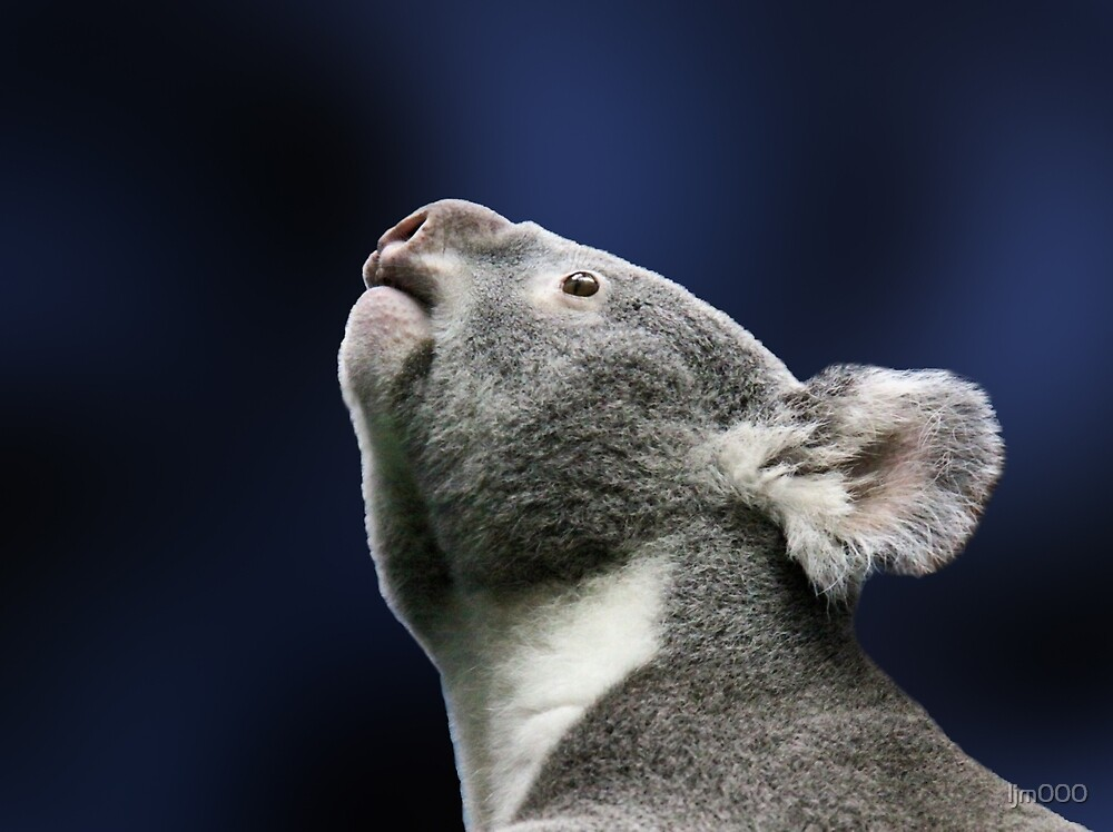 Cute Koala looking up  by ljm000