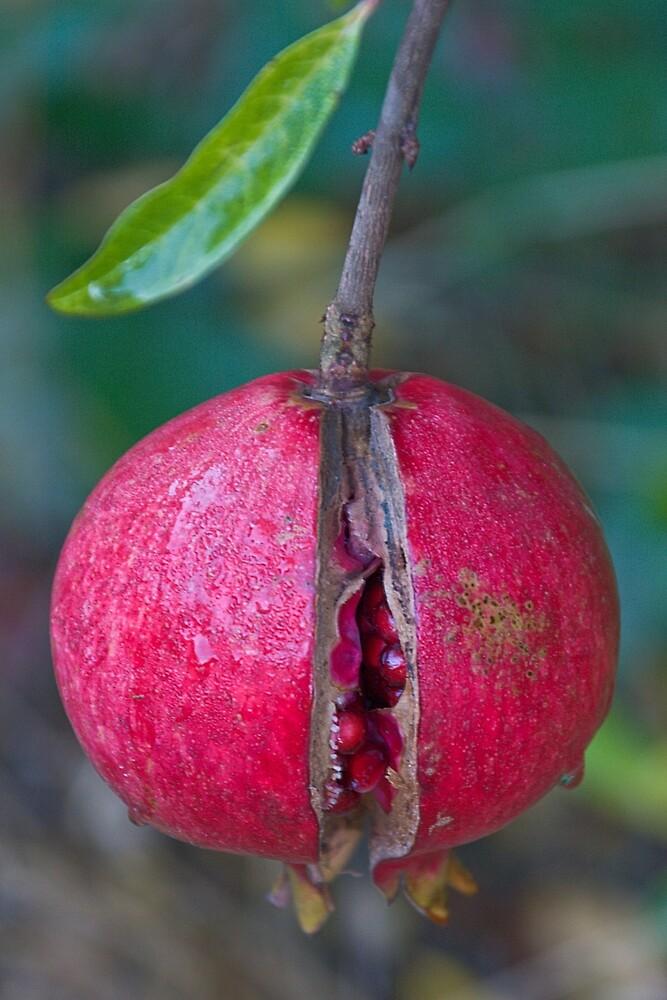 Pomegranate by David Chesluk