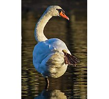 Cygnus Olor - Mute Swan Stretching | Stony Brook, New York Photographic Print