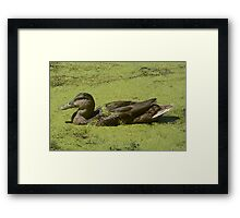 Young Mallard duck drake Framed Print