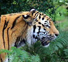 Tiger  by ljm000