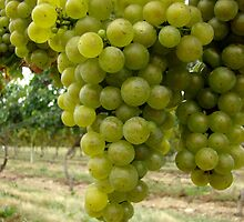 Grapes by AGODIPhoto