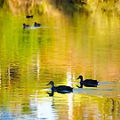 Homeward Bound , Black Ducks, Wilson Botanical Park, Berwick,  by johnrf