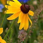 Summer Black Eyed Susan by Diana Graves Photography
