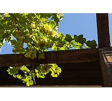 Overhead Grape Harvest - Summertime Dreaming of Fine Wines Photographic Print